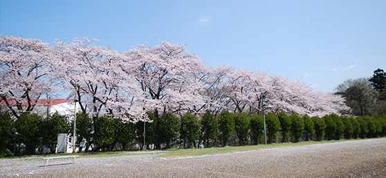 main_v_cherry-blossoms-road